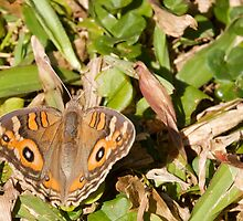 Meadow Argus Butterfly - Patterns by NaturalCultural
