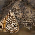 Ringed Xenica Butterfly by NaturalCultural