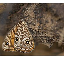 Ringed Xenica Butterfly Photographic Print