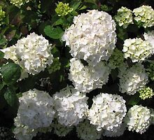 Snowballs in Summer - Beautiful White Hydrangea Blossoms by Kathryn Jones