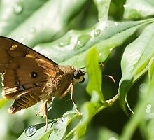Splendid Ochre Butterfly after rain by NaturalCultural