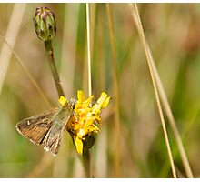 Two Brand Skipper Butterfly Photographic Print