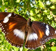Varied Eggfly Butterfly by NaturalCultural