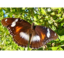 Varied Eggfly Butterfly Photographic Print