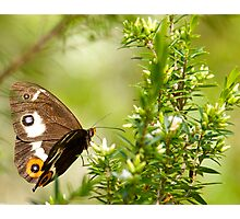 Varied Sword Grass Brown Butterfly Photographic Print