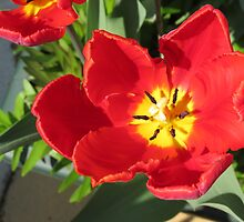 Fire in her Heart - Flamboyant Red and Yellow Tulip by MidnightMelody
