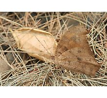 Evening Brown Butterfly Photographic Print