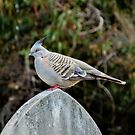 Topknot Pigeon by sedge808