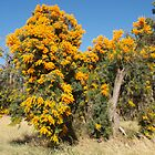 Nuytsia in Baldivis by kalaryder
