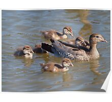 Mum and the kids  -- Australian Wood Ducks at Ponder Bay Poster