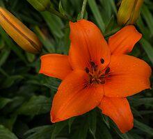 Hot Orange Lily  by Georgia Mizuleva