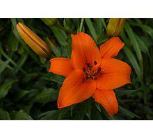 Hot Orange Lily  Photographic Print