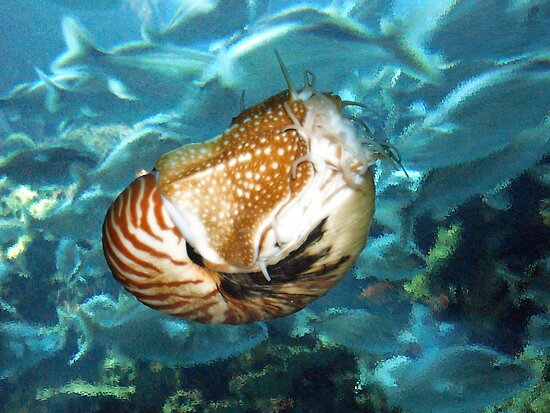 Chambered Nautilus by debidabble