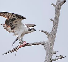 Osprey with Prey by Bonnie T.  Barry
