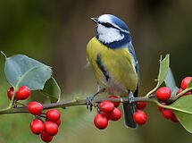 Blue tit - I by Peter Wiggerman