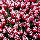 Tulips in Christmas colors by bubblehex08