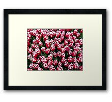 Tulips in Christmas colors Framed Print