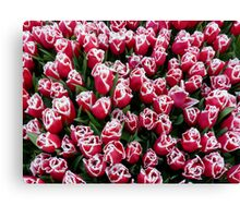 Tulips in Christmas colors Canvas Print