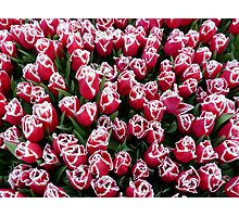 Tulips in Christmas colors Photographic Print