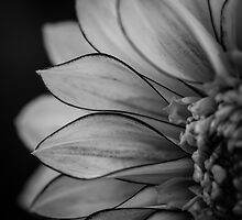 Flowerscapes - BW Dahlia Polka by lesslinear