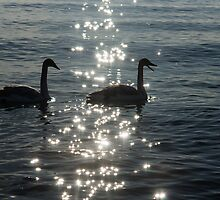 Singing Trumpeter Swans - Lake Ontario, Toronto by Georgia Mizuleva