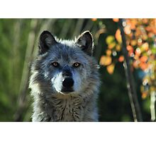 Yellowstone Timber Wolf Photographic Print