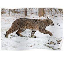 Bobcat in snow Poster