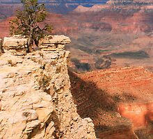 Pinyon Pine on the canyon edge, Grand Canyon by Roupen  Baker