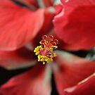 Stamen of the Hibiscus Flower by aussiebushstick