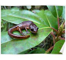 Oregon Ensatina Salamander 2 Poster