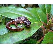 Oregon Ensatina Salamander 2 Photographic Print