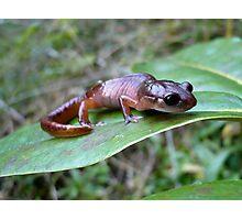 Oregon Ensatina Salamander 3 Photographic Print
