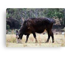 Scrub Cattle V Canvas Print