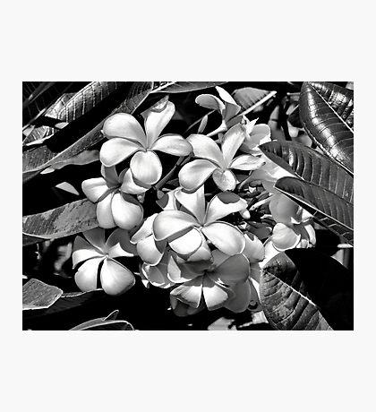Molokai Plumeria Photographic Print