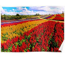 Colorful Plumed Cockscomb Lavender Flower Field Poster