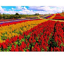 Colorful Plumed Cockscomb Lavender Flower Field Photographic Print