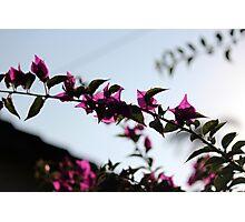 Magenta Silhouette Photographic Print