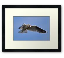 Black Shouldered Kite. Framed Print
