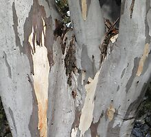 Gum tree 9: three trunks and a twisted knee. by Neroli Wesley