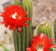 cactus flower by Steve9