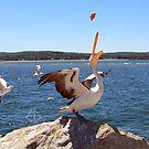 Pelican feeding by Elisabeth Dubois