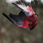 Houdini - dam that knot   -  to be a Galah -   image 2. by john  Lenagan