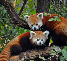 Red Pandas by S. Daniel McPhail