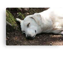 White Dog Sleeping Canvas Print