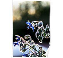 Bernagie blue flower  Poster