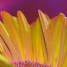 petals of a gerbera by kellimays
