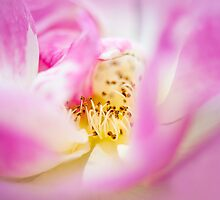 Soft on Roses by Jacky Parker
