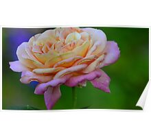 pink fading rose Poster