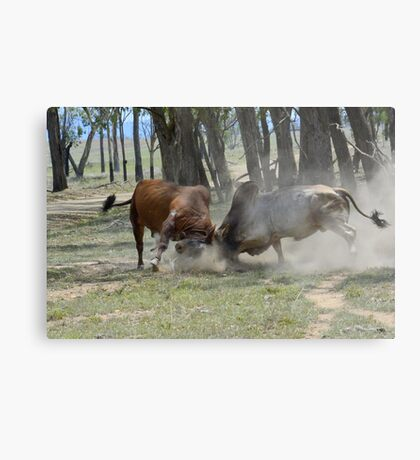 BULL FIGHT  IN THE OUTBACK Metal Print