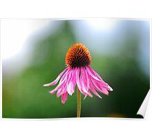 Purple Coneflower (Echinacea) Poster